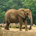NEW African Bush Elephant