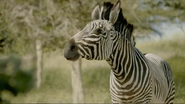 Robert the Zebra