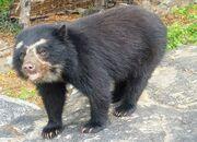 Spectacled bear.jpg