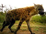 2-Spotted-Hyena-Crocuta-crocuta