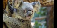 CITIRWN Koala