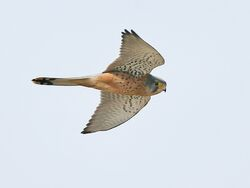 Common kestrel (Falco tinnunculus).jpg