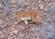 Cougar, North American.jpg