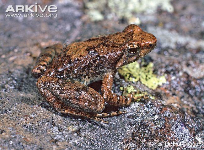 Mount Glorious torrent Frog