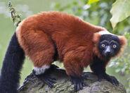 Lemur, Red-Ruffed