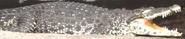 Louisville Zoo Crocodile