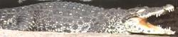 Louisville Zoo Crocodile.png