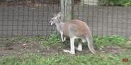 Pittsburgh Zoo Kangaroo