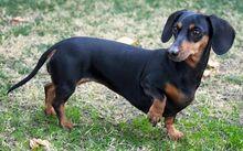 Short-haired-dachshund.jpg