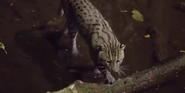 Singapore Zoo Fishing Cat
