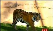 BTJG Tiger