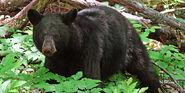 Black Bear, American