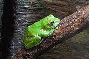 Chinese Flying Frog.jpg