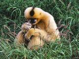 Black Crested Gibbon