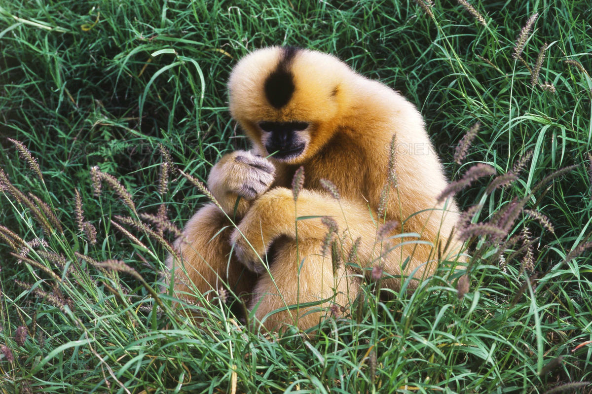 Black Crested Gibbon