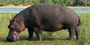 Hippopotamus, Cape.jpg