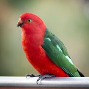 Parrot, Australian King