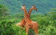 Reticulated Giraffe Bull and Cow