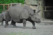 Rhinoceros unicorns