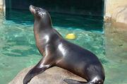 Sea Lion, Callifornia.jpg