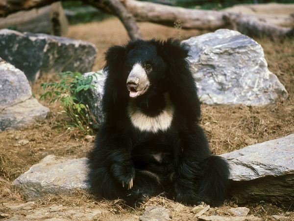 Sloth Bear | The Parody Wiki | Fandom