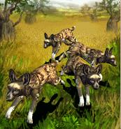 ZT-African Wild Dog