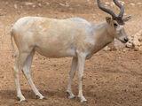 SAHARA ANIMAL
