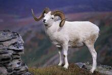 Alaskan Dall Sheep.jpg