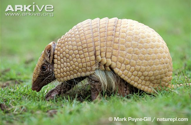 Brazilian Three-Banded Armadillo