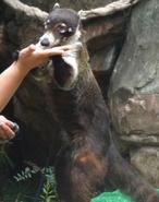 Cincinnati Zoo Coati