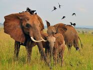 Elephants and OXpeckers