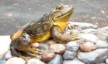 Goliath frog.jpg