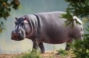 Hippopotamus, Nile (V2)