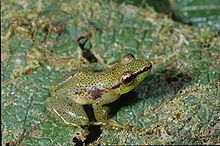 Dotted Madagascar Frog