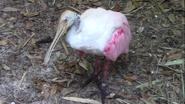 Jacksonville Zoo Spoonbill