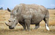 Rhinoceros and Egret On Grassy Savanna