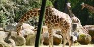 Riverbanks Zoo Giraffe