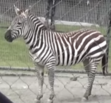 San Fransisco Zoo Zebra
