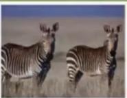 TAS Mountain Zebras
