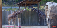 Utah Hoogle Zoo Giraffe