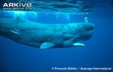 Whale, Sperm.jpg