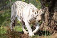 White Tiger (Panthera tigris tigris)