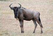 Wildebeest, Western White-Bearded.jpg