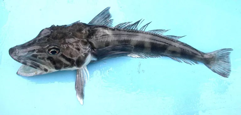 Antarctic Icefish