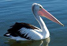 Australian pelican.jpg