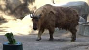 Cincinnati Zoo Takin (V2)