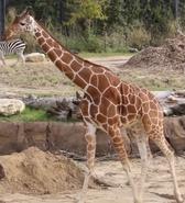 Dallas Zoo Giraffe