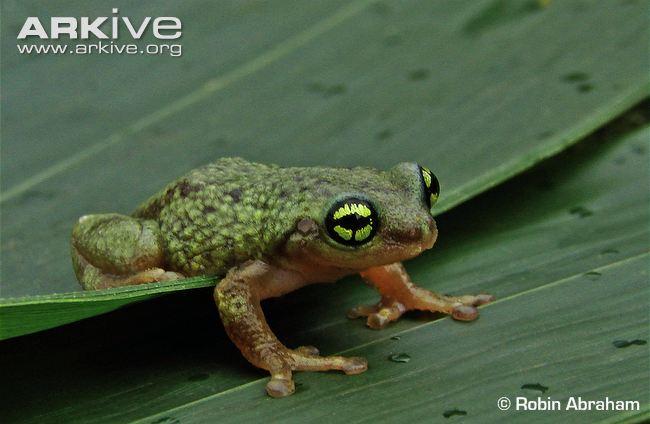 Chaldozes Bubble Nest Frog