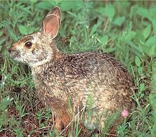 Mammals swamp rabbit.jpg