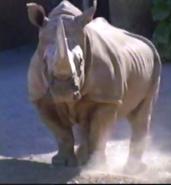 Maryland Zoo Rhino